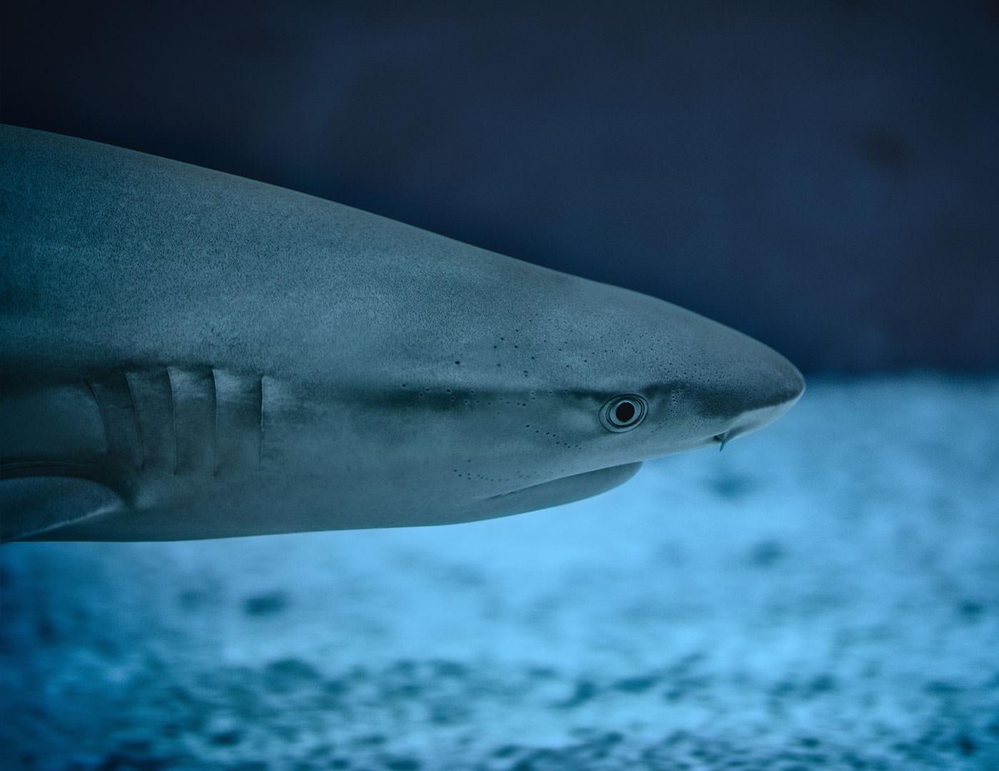 Shark - the dark side